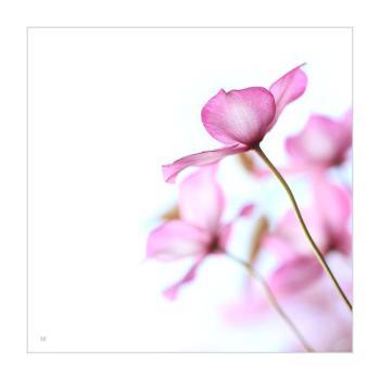 Pink Clematis - Alyson Fennell