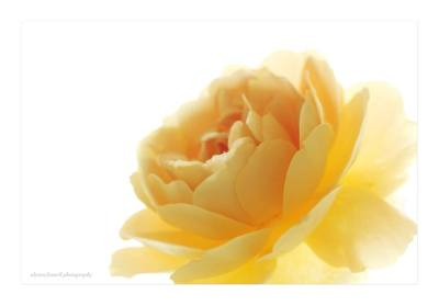 Yellow Rose - Alyson Fennell