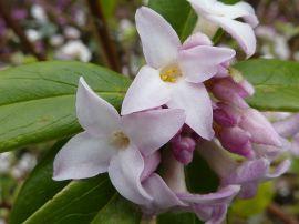 Daphne bholua 'Jacqueline Postill' (Thymelaeaceae) flower - Magnus Manske