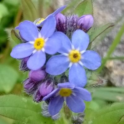 forget-me-not, blue flowers, spring flowers, the last krystallos,