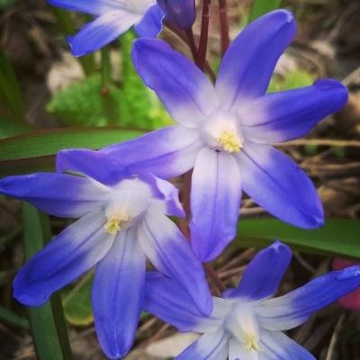 chionodoxa, blue, star, flower, blue flowers, spring, the last krystallos,