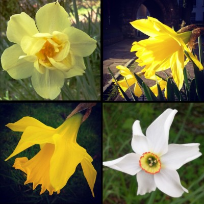 narcissi family, narcissi, narcissus, daffodils, daffs, sunshine yellow, yellow flowers, the last krystallos,