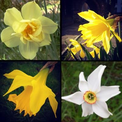 narcissi family, narcissi, narcissus, daffodils, daffs, sunshine yellow, yellow flowers, the last krystallos,