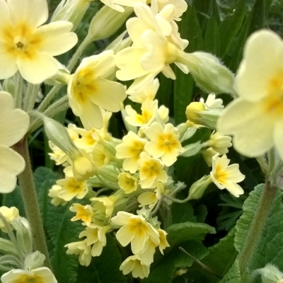 primroses and cowslips, spring flowers, yellow flowers, meadows, yellow, spring, the last krystallos,