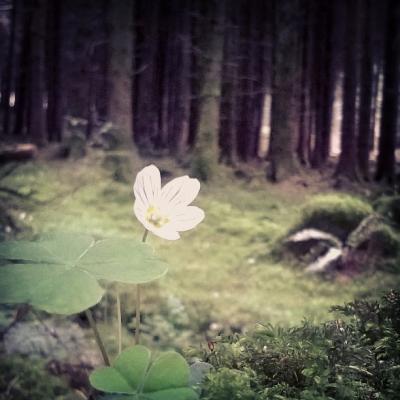 qxalis, wood sorrel, common wood sorrel, woodland flowers, white flowers, spring flowers, the last krystallos,