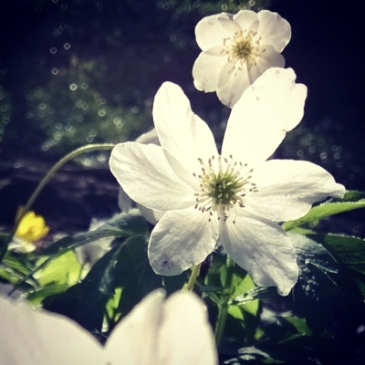 wood anemone, fairy wings, white flowers, spring flowers, woodland flowers, woodland, the last krystallos,
