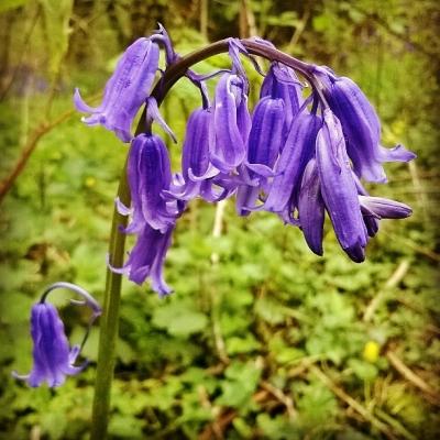 bluebells, purple flowers, bells, bell flowers, wooodland flowers, the last krystallos,