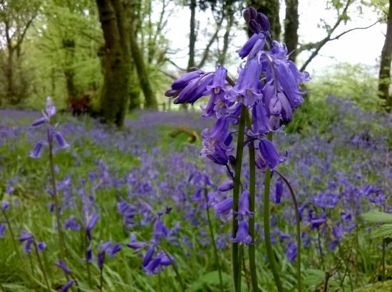 swathe of bluebells, bluebell woods, greencastle woods carmarthen, bluebells, the last krystallos,