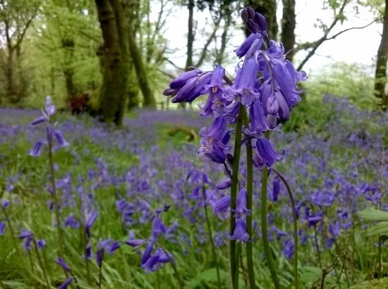 swathe of bluebells, bluebell woods, greencastle woods carmarthen, bluebells, the last krystallos,