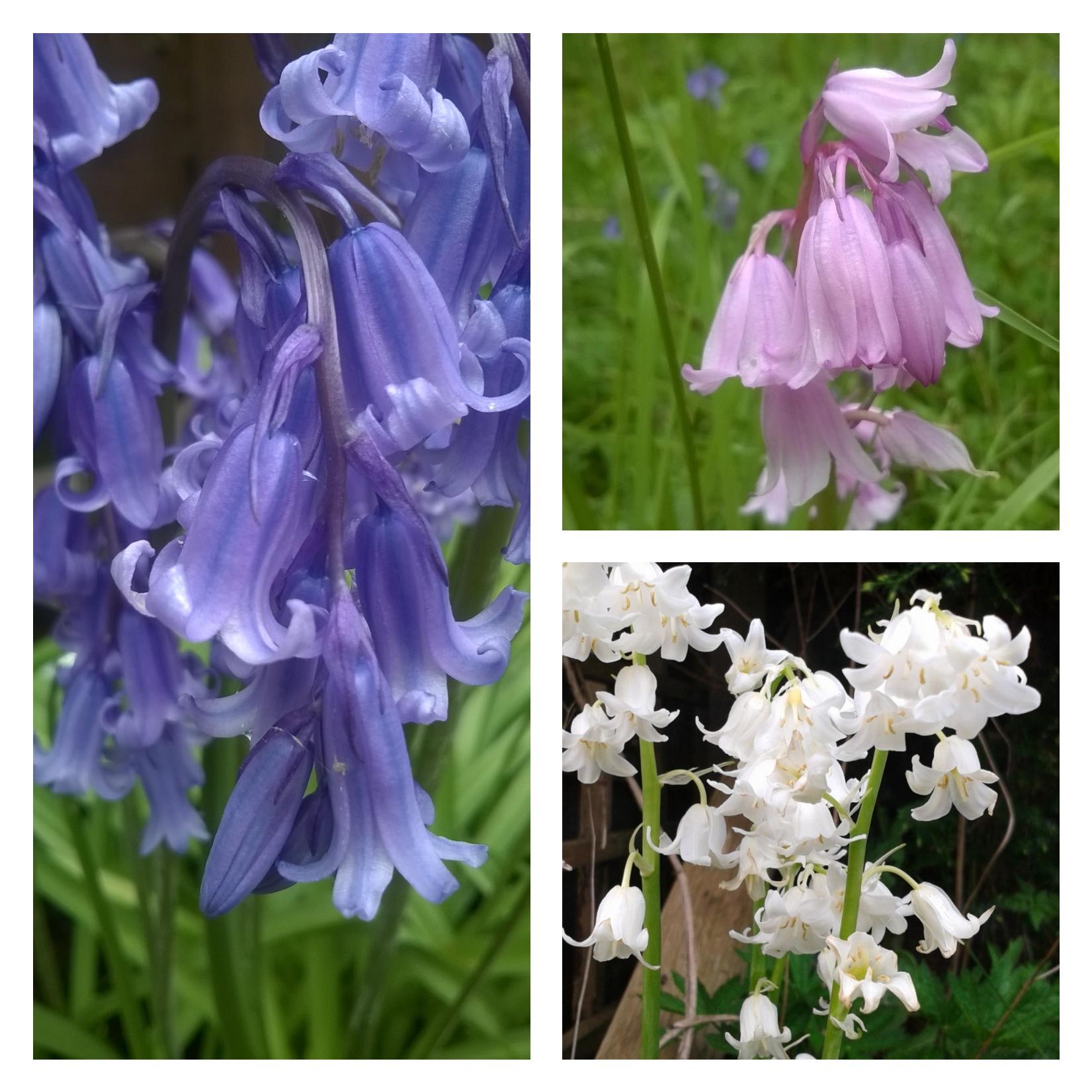 A Purple Swathe Of Bluebells Beauty In Blue The Last Krystallos