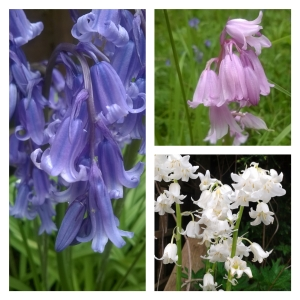Blue, pink and white bluebells  © Lisa Shambrook