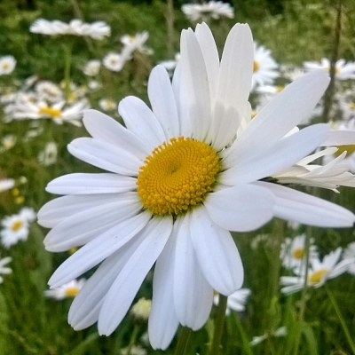 ox-eye daisy,