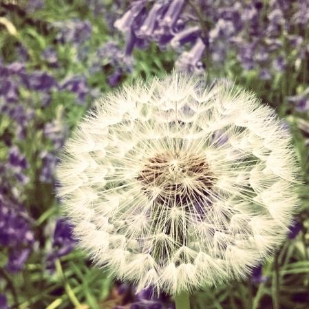 dandelion clock, wishes, lisa shambrook, the last krystallos,