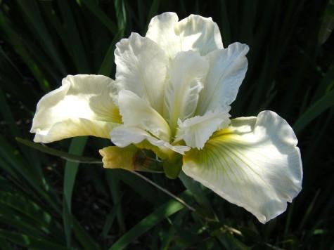 iris white iris, aberglasney gardens, wales,