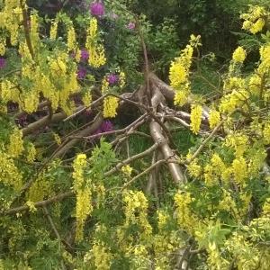 uprooted laburnum, fallen tree, fallen laburnum, the last krystallos,