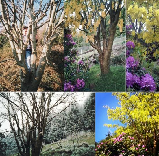 loss of laburnum, the last krystallos, laburnum tree, golden chain,