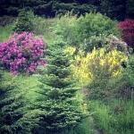 laburnum-tree-garden-the-last-krystallos-june-2015