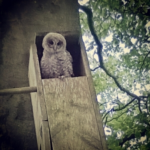 baby owl in owl box green castle woods, the last krystallos,