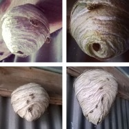 Wasp nest growth over eight weeks © Lisa Shambrook