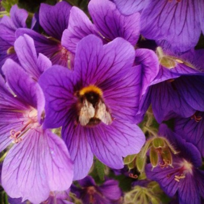 geranium johnsons blue flowers, geranium johnsons blue bee, purple flower and bee, bumble bee and flower, the last krystallos,