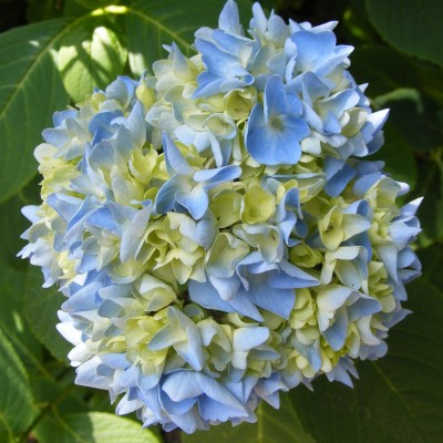 blue hydrangea mophead flowers, the last krystallos,