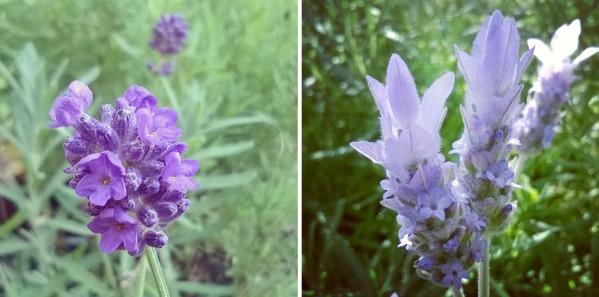 Lavender © Lisa Shambrook