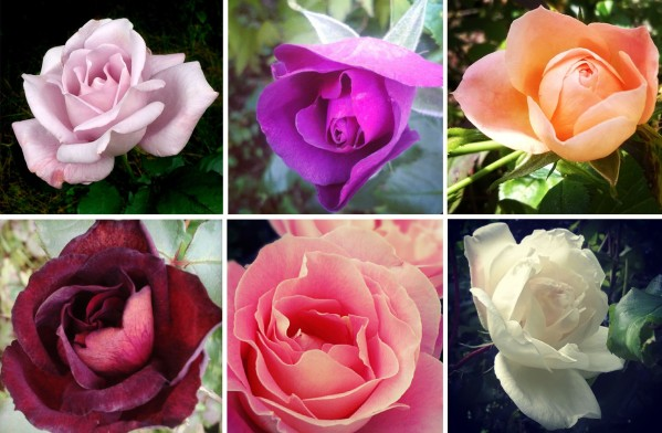 roses, rhapsody in blue, Louis XIV, blue moon, audrey wilcox, peach, iceberg, red rose, the last krystallos,