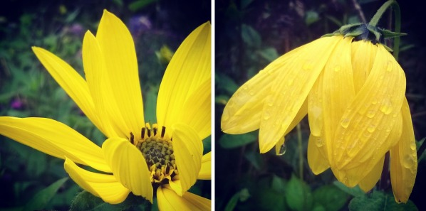 rudbekia flower, yellow flower rain, the last krystallos,
