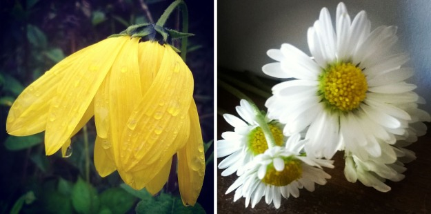 rudbekia, rain on flower, simple daisy, the last krystallos,