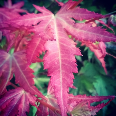 acer, acer palmatum, ornamental maple, red leaves, the last krystallos,