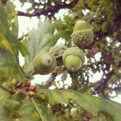 acorns and oak tree, acorns, the last krystallos,