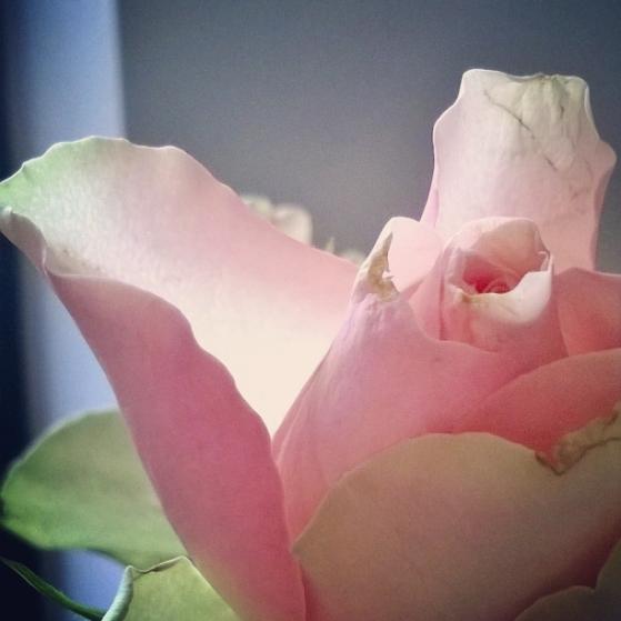 how-to-feel-loved-the-last-krystallos-rose-petals