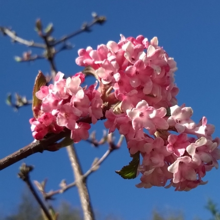 Viburnum Bodnantense Dawn, ten winter wonders of nature, the last krystallos,