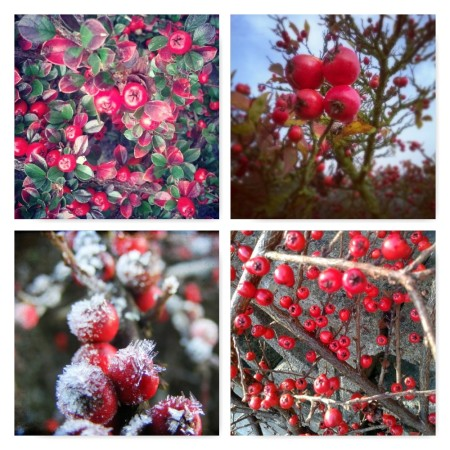 red berries, cotoneaster, ten winter wonders of nature,the last krystallos,