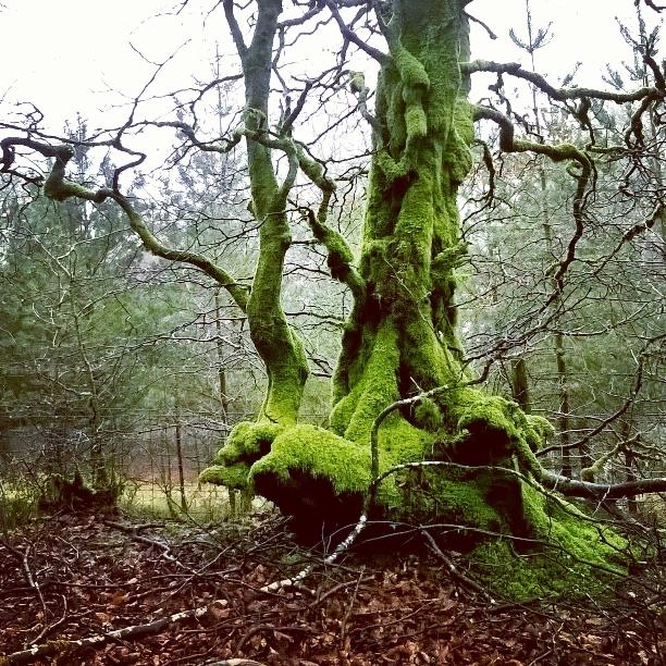 Exmoor mossy tree - The Last Krystallos