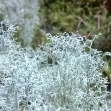 Reindeer Moss - Gathering Moss | The Last Krystallos