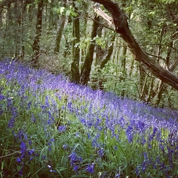 bluebells-green-castle-woods-the-last-krystallos