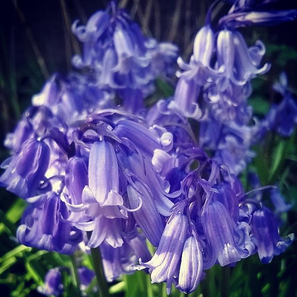 bluebells-thelasy-krystallos-garden