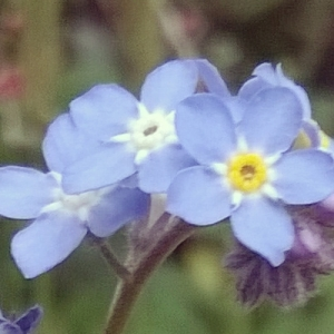forget-me-nots, the last krystallos, alzheimer's awareness,