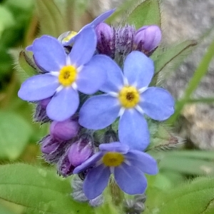 forget-me-nots, the last krystallos, alzheimer's awareness week,