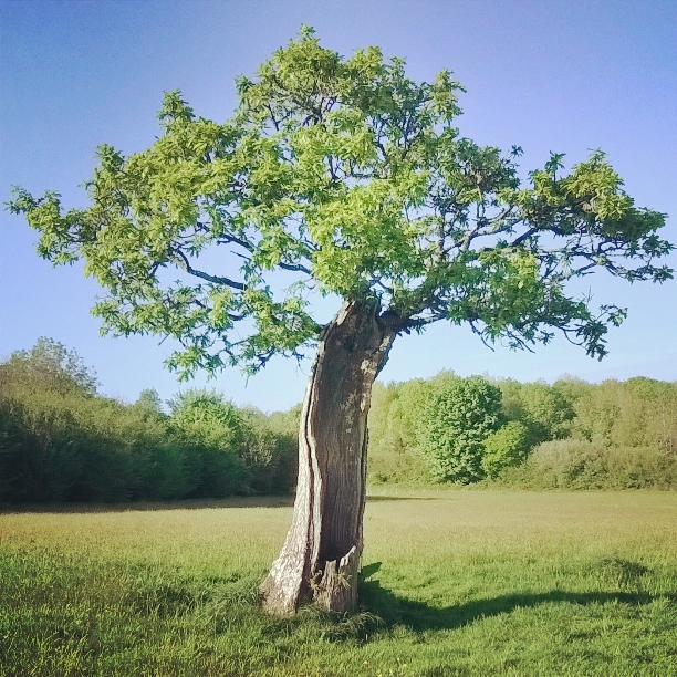 green-castle-wood-old-oak-may-2016-lisa-shambrook-the-last-krystallos.jpg