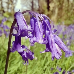 native-bluebells-green-castle-woods-the-last-krystallos