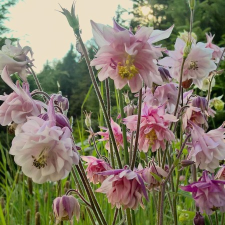 aquilegia, meadow flowers, lisa shambrook, the last krystallos,