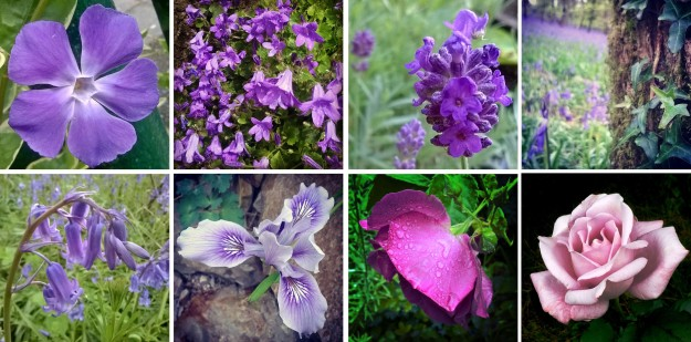 Violet like Purple Ted… and Vinca, and campanula, lavender, and bluebells, and irises, and roses…