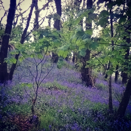 bluebell-walk-greencastle-woods-the-last-krystallos