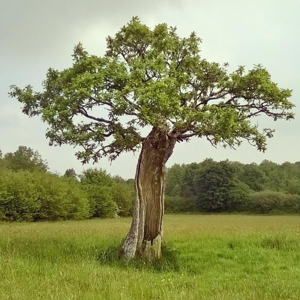 broken-things-still-live-old-oak-the-last-krystallos