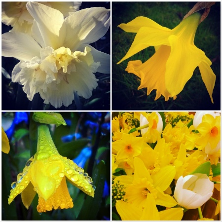 Daffodils-Signs-of-spring-The-Last-krystallos