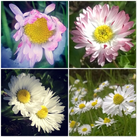 Daisies-Signs-of-spring-The-Last-krystallos