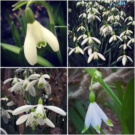 Snowdrops-Signs-of-spring-The-Last-krystallos