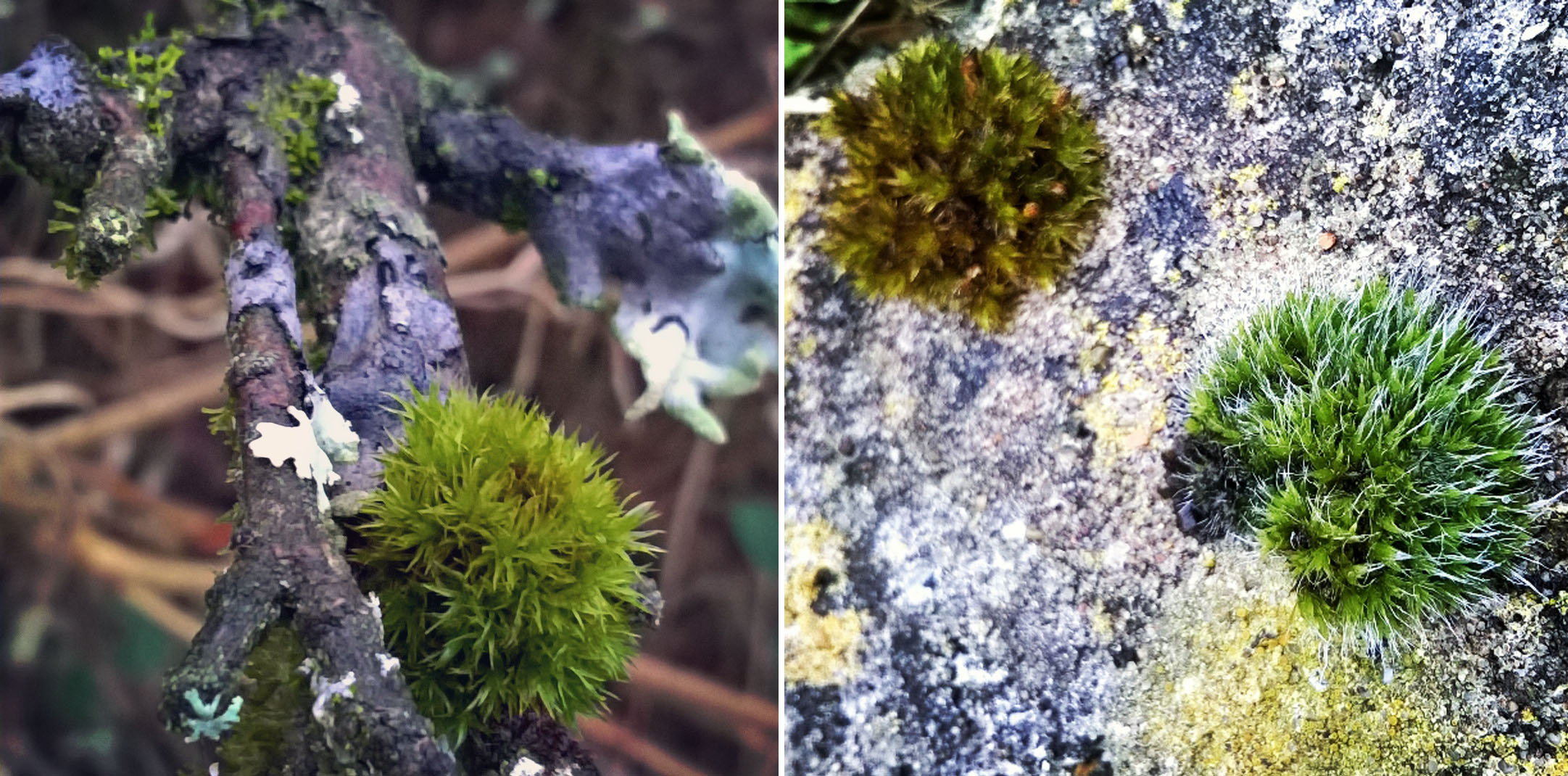 Foliose-and-Crustose-lichen-and-moss-hedgehogs-The-Last-Krystallos